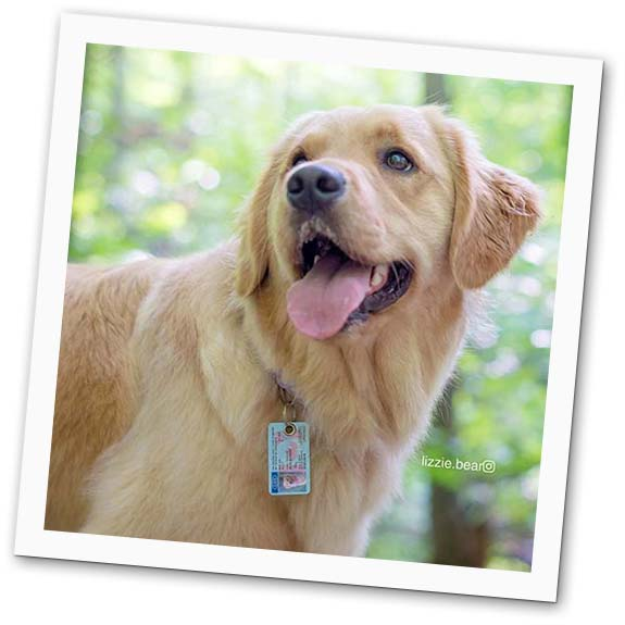 Golden Retriever wearing SafePet pet id tag