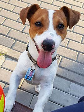 Jack Russell Terrier mit SafePet Hunde Personalausweis