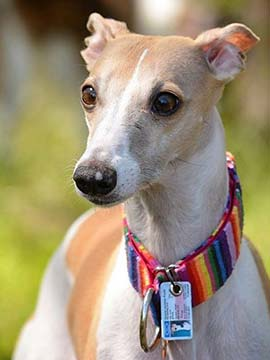 Whippet mit SafePet Tierperso